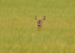 Roe deer (George Findlay) Tags: field nikon doe deer roe ayrshire d7000 sigma150500