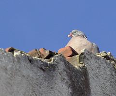 over 30C is too much (stanzebla) Tags: birds vgel vogel oiseaux columbapalumbus commonwoodpigeon ringeltauben pigeonramier