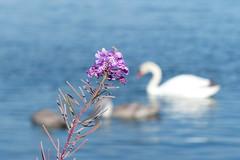 Rallarros (evisdotter) Tags: rallarros fireweed mjlkrt mjlke chamerionangustifolium blomma bokeh birds swans svanar water nature sooc summer coth5