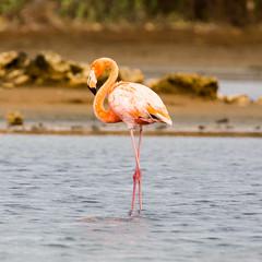 Flamingoes@Williwood 4 (caropho) Tags: jankok curaao birds flamingo wildlife caribbean animal nature canon eos