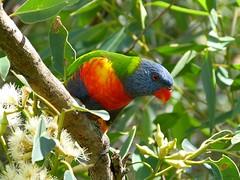 Trichoglossus moluccanus (barryaceae) Tags: new lake bird birds wales rainbow south sandbar lorikeet australia aves smiths australianbirds australianbird trichoglossus ausbird ausbirds moluccanus