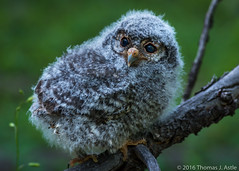 Fuzzball (Tom's Macro and Nature Photographs) Tags: birds colorado fuzzy fluffy chick raptors owls birdsofprey naturephotography babybirds babyanimals owlet birdphotography wildlifephotography flammulatedowl