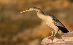 Darter at East Point_9925 (Jen Crowley Photography) Tags: darter bird eastpoint darwin nt northernterritory nikon australia