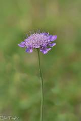 Wildflower (ellie.taylor30) Tags: butterfly hampshire summer sigma105 sigma nikonnaturephotography nikon nature flickrnature