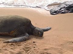67-June 28 2016-North Shore-Oahu HI-sea turtle (Barb Mayer) Tags: beach northshore oahu hawaii seaturtle