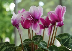 The Gift That Keeps on Giving! (Kooklamou - MA., USA) Tags: cyclamen gift christmas july december blooming still favorite beautiful