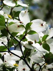 Bloss (D.L.Rutter) Tags: flowers flower cherry blossoms tree nj newjersey nature peace