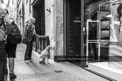 Waiting for the mistress (Barbara Oggero) Tags: street streetphotography travel italy lucca tuscany dog waiting people city urban master boss mistress attention companion shopping shop animal domestic behaviour