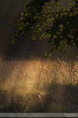 Morning has Broken (Nathan Dodsworth Photography) Tags: light warmth life colour morning dawn grass tree beams leaves rays serene insopirational comforting joy mood atmospheric
