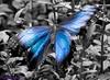 K46A8108-2 (Yvonne23021984) Tags: schmetterling butterfly hamm germany deutschland maxipark markro photography macrophotography canon canonphotography markofotografy canoneos7dmarkii insects insekten nature naturfotografie naturephotography closeup colorkey schmetterlinge butterflies