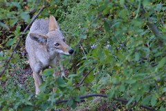 Dawn Patrol (captured views - on and off throughout the summer) Tags: coyote capturedviews capturingthelivinglandscape capturedviewsphotography californiawildlife coyotes coexistingwithnature northerncaliforniawildlife northerncalifornia projectcoyote twoyearoldcoyote intelligentwildlife intelligentanimals nature