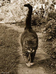 Bastian on the path - for Happy Caturday (Finn Frode (DK)) Tags: cats garden path walk summer bastian mixedbreed domesticshorthair olympus omdem5 denmark animal pet cat outdoor monochrome tinted happycaturday