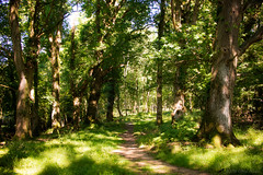In the shade of the forest (OR_U) Tags: 2016 oru uk langleywood langleywoodnationalnaturere forest path vanmorrison trees oak oaktrees ancient sun sunlit sunlight serene nature langleywoodnationalnaturereserve