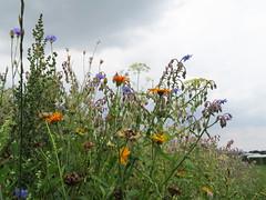 ckuchem-3089 (christine_kuchem) Tags: ackerrand bienenfreund bienenweide blumen blhstreifen feld felder klee landwirtschaft schmetterlingsbltler vogelschutz wiesenblume