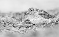 Purple Sandpiper - Calidris maritima (Jens Goos) Tags: nature iceland sland birds animals bird purple sandpiper blackandwhite monochrome bw lowangle eyecontact canon 400mm grundarfjordur holiday travel