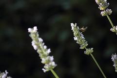Abejorro y lavanda (cslbien) Tags: bumblebee lavender abejorro lavanda flores abejas polinizacin vuelo