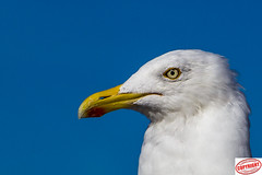 IMG_5927 Gull (Joanne 1967 (SIMPLY PHOTOGRAPHY)) Tags: joanneshaw simplyphotography gull seagull hartlepool marina