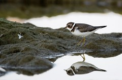 Plover in the Mirror (imageClear) Tags: shorebird plover bird moss pools northpoint beauty nature aperture nikon d500 sigma sigma150600mmcontemporaroy 150600mm telephoto zoom sheboygan wisconsin imageclear flickr photostream
