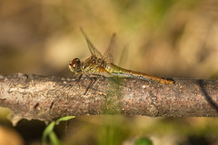 Keeled skimmer (Orthetrum coerulescens) young, mail (Stefan Zwi.) Tags: libelle dragofly ruddydarter insect macro sigma105mm sony a7 ilce7