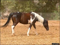 Horses in Yotvata (Zachi Evenor) Tags: zachievenor israel yotvata horse horses equusferuscaballus equuscaballuscaballus equus ferus caballus kibbutz stables