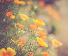 Elaine's Garden (jm atkinson) Tags: poppies maine damariscotta bokeh