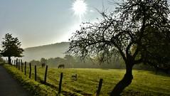 ~~ L'intruse !! ~~ (Jolisa { en vacances du 22 au 29 Sept.2016}) Tags: matin morning soleil rais rayons nature paysage contrejour octobre2015 prairie barrires fences vaches cows hlna chien dog