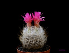 Neoporteria senilis (Nyxtofulakas) Tags: summer cactus plant black flower nature succulent background cactaceae spines forma nidus eriosyce senilis neoporteria