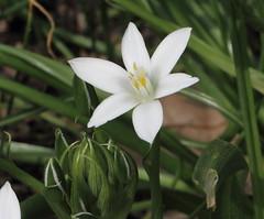 Ornithogalum umbellatum, Dolden-Milchstern (julia_HalleFotoFan) Tags: ornithogalumumbellatum ornithogalum asparagaceae doldenmilchstern milchsterne spargelgewchs ornithogaleae