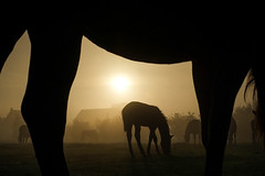 Horseview (Drummerdelight) Tags: into sun sunlight sunlightset shillouettes horses pov frame
