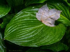 Leaf Comfort_12031 (smack53) Tags: plants wet leaves canon garden spring powershot rainy hostas springtime g12 smack53