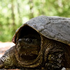 Dinosaur on the road in False Cape State Park, VA. #TheWorldWalk #wildlife #turtle #hike #travel