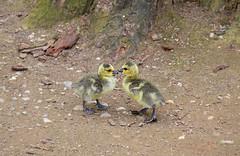 DSC_0128 copia (giuli.flaccomio) Tags: park parco lake see goose gans chicks dusseldorf düsseldorf papera küken pulcini