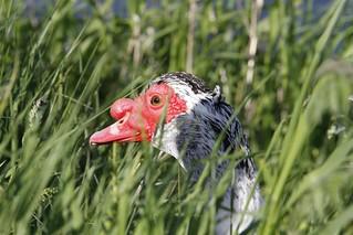 Muscovy Hiding in Long Grass