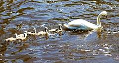 SIX & MUM (conespider) Tags: uk england water thames swim river outside nikon outdoor swans gb six berkshire waterway 2015