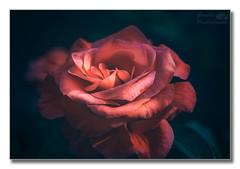 Peach rose (Descended from Ding the Devil) Tags: flowers rose closeup garden dof bokeh pastel derbyshire peach depthoffield fullframe derby selectivefocus mirrorless photoborder beyondbokeh sonya7mkii