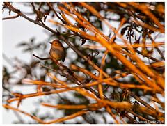 DS0D7772-Red-breasted-Flycatcher,-filedula-parva (duncancooke.happydayz) Tags: redbreasted flycatcher ficedula parva isle may scotland birdperfect distinguishedbirds birds bird british wildlife uk naturesgreenpeace nature native animal outdoor songbird photo border