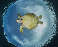 I believe I can fly (merbert2012) Tags: turtle snellswindow underwater underwaterphotography apoisland wellbeachdiveresort philippines scuba diving sky ocean pacific nature wildlife reisen travel aquaticahousing nikon nikond800 fisheye