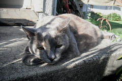 Josie in January (~ MCJ) Tags: josie rescuecat 10yo hyperthyroidism radioactiveiodinetreatment