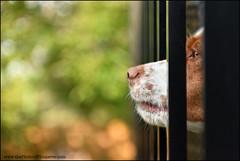 29-52 talking with the bird (Dave (www.thePhotonWhisperer.com)) Tags: dog fence nose brittany birddog muzzle brittanyspaniel