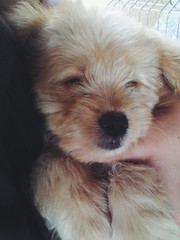 Carlotinha (CartasAoVento) Tags: dog puppy cute cutedog pero poodle labradoodle pet cutie