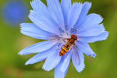 Little bee (dtroi17) Tags: sommer wiese insekt biene summer meadow flower insect bee wild wildlife