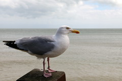 Another Seagull (Crisp-13) Tags: sea bird kent seagull broadstairs