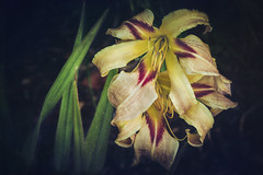 Spider Lily (Colormaniac too) Tags: daylily hemorocallis spider colorful dramatic diva garden flower bloom blossoms lily summer summertime floral botanical perennial plant sequim olympicpeninsula pacificnorthwest flypapertextures nature naturalbeauty