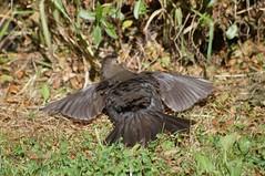 Enjoying the sunshine :) (Kay Musk) Tags: blackbird femaleblackbird turdusmerula bird wildlife wild nature gardenwildlife nikond3200 essex uk