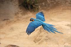 Loro Parque (Hansmannn) Tags: vacation spain tenerife canaryislands loro ara islascanarias loroparque papagai papouek