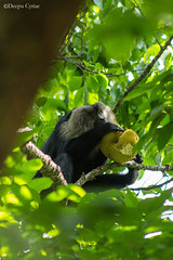 Jackfruit lover (Deepu Cyriac) Tags: silentvalley silentvalleynp silentvalleynationalpark nature wildlife westernghats indianforest travel kerala palakkad liontailedmacaque ltm macaque monkey animals