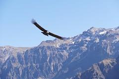 El Condor pasa Colca Canon Arequipa Peru (roli_b) Tags: mountains mountain tal caon colcacanon kondor cruzdelcondor arequipa colca condor peru perucondor