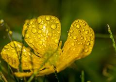 Droplets (derekgordon1) Tags: nikon extensiontube 55200 flowers flower flora water droplets drops waterdrops macro closeup shallowdof