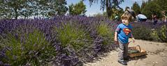 Lavender Picker (Natasha Reed Photography) Tags: purplehazelavenderfarm lavender purplehaze superman lavenderfestival