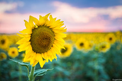 Helianthus (Eugercios) Tags: helianthus girasol sunflower mirasol ekilore xirasol girassol sonnenblume girasole tournesol espaa espanha spain europa europe castilla cuenca lamancha sunset sun verano vero summer prdosol atardecer campo